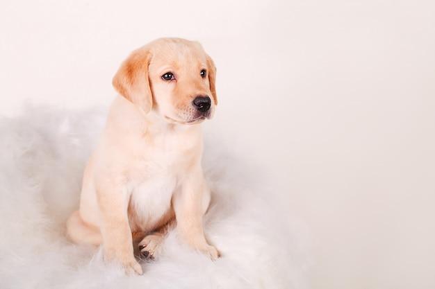 Het puppy van labrador zitting en onder ogen zien, geïsoleerd op wit