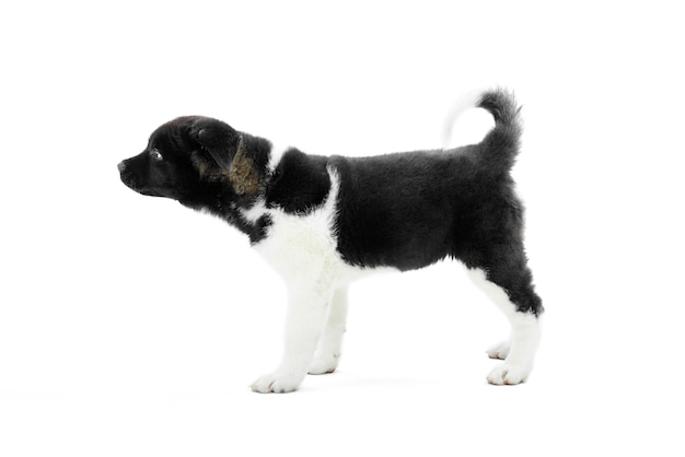Het puppy van weinig leuke amerikaanse akita