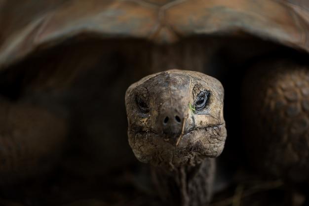 Het reusachtige schildpadclose-up kijken