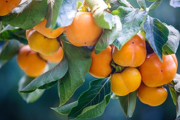 Het rijpe dadelpruimenfruit hangen op de boom van de dadelpruimtak
