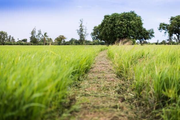 Het rijstveld