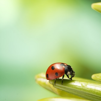 Het rode lieveheersbeestje kruipt op stam van installatie in de lente, onzelieveheersbeestje op groen blad in tuin in de zomer
