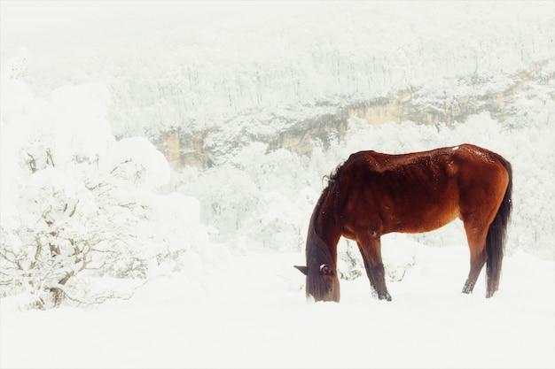 Het rode paard verdient zijn provender onder de sneeuw op een bergweiland in de winter