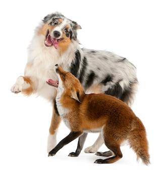 Het rode spelen van de vos met australische herder