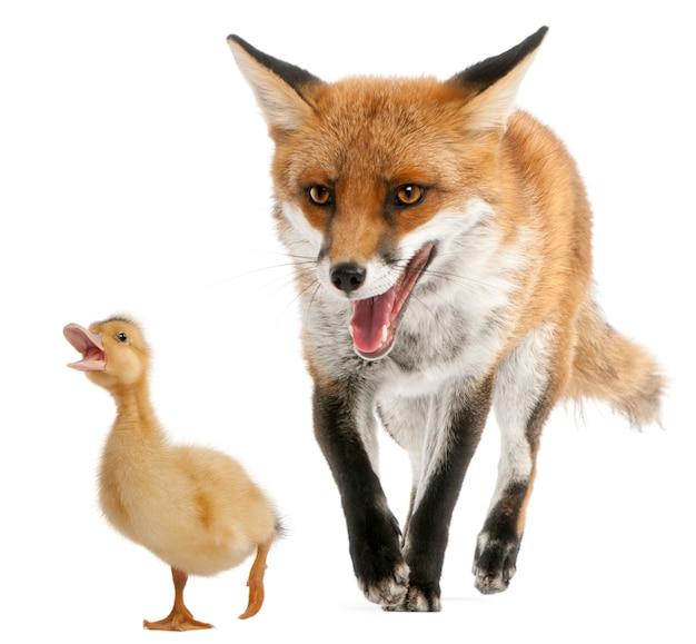 Het rode spelen van de vos met een binnenlandse hertog