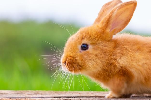 Het rode zachte konijn kijkt op de achtergrond van groene aard