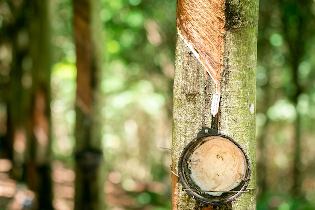 Het sap van de rubberboom aftappen