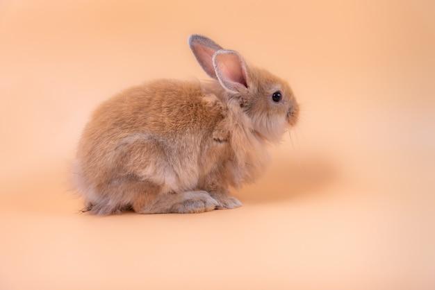 Het schattige kleine pasgeboren konijn heeft puntige oren.