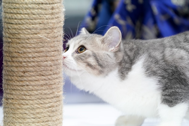 Het schattige korte witte en grijze tijgerpatroon op haar speelt touwspeelgoedpaal.