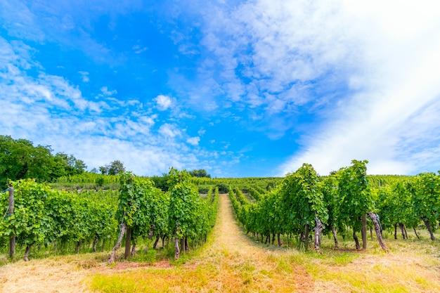 Het schilderachtige panorama van de wijngaard, de aanplant van groeiende wijnstokken.