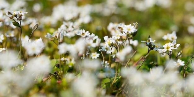 Het selectieve schot van de nadrukclose-up van mooie matricaria-recutitabloemen op een gebied