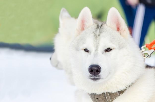 Het siberische schor portret van het hond dichte omhoog openluchtgezicht