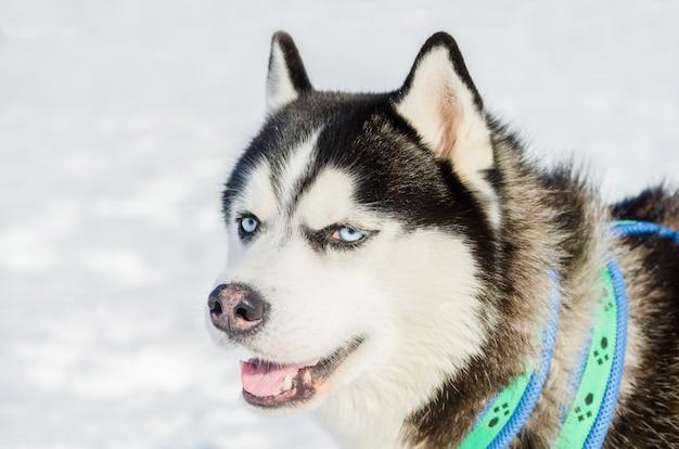 Het siberische schor portret van het hond openluchtgezicht