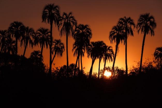 Het silhouet van de suikerpalm bij zonsopgang of zonsondergang