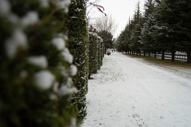 Het sneeuwde op dennenbomen in rijen op het wandelpad