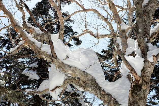 Het sneeuwwitje op de bomen met blauwe hemel. winter seizoen