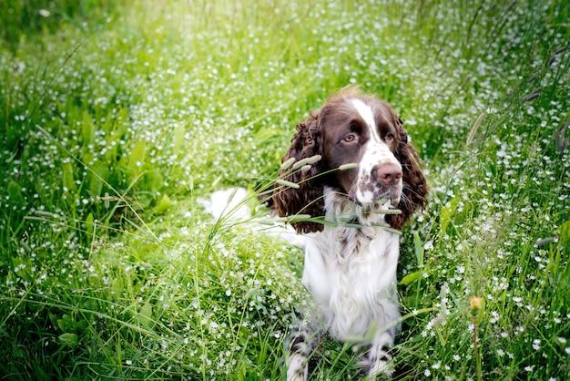 Het spanielhond die van de aanzetsteen op het grasgebied rust