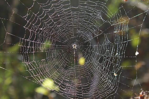 Het spinnenweb is 's ochtends bedekt met waterdruppels in het bos en glinstert in de zon.