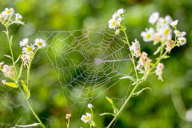 Het spinneweb is een van de stengels van witte bloemen in het bos in de zomerochtend