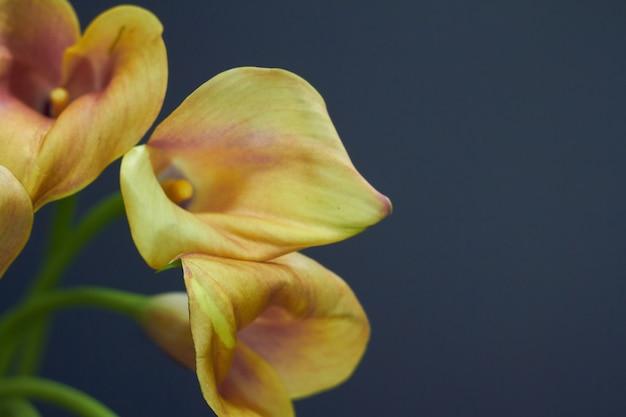 Het stillevenboeket van de close-up van geeloranje calla lelies in een glasvaas op dark