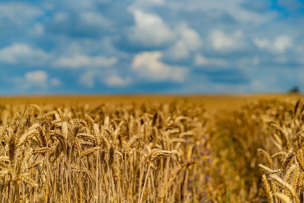 Het tarweveld wordt afgebeeld op de achtergrond van de blauwe lucht.