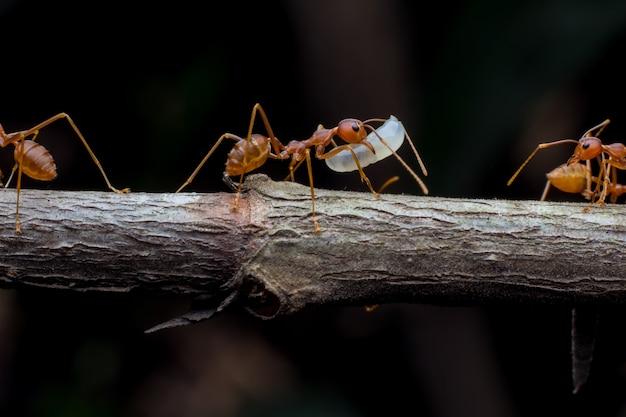 Het teamwerk van rode mieren hielp bij het bouwen van zijn nest.