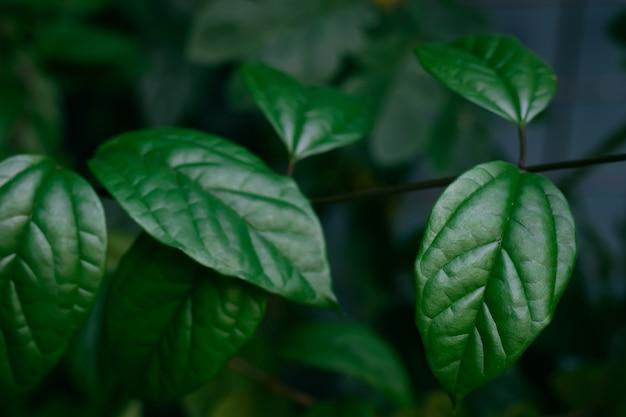 Het tropische donkergroene gebladerte van de bladerentextuur, aard achtergrondconcept.