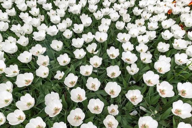 Het tulpengebied in de bloementuin van keukenhof, lisse, nederland, holland