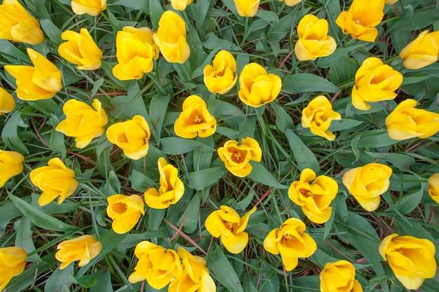 Het tulpenveld in nederland of holland Gratis Foto