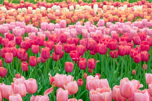Het tulpenveld in nederland of holland