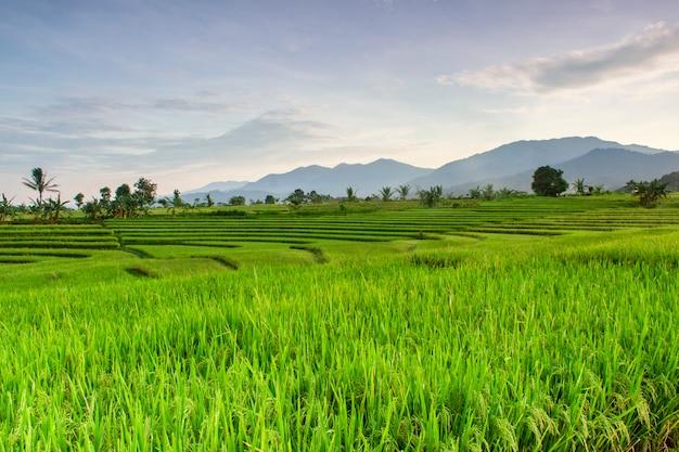 Het uitzicht op de rijstvelden op een mooie ochtend met een prachtige blauwe berg in bengkulu