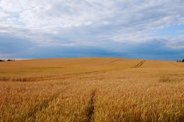 Het veld heeft tarwe bereikt. de natuurlijke samenstelling.