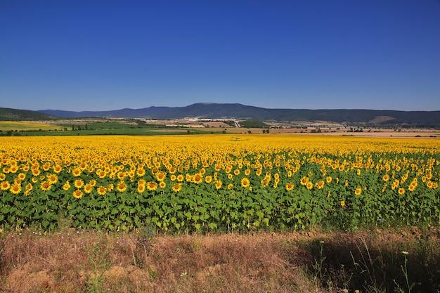 Het veld met zonnebloemen, bulgarije