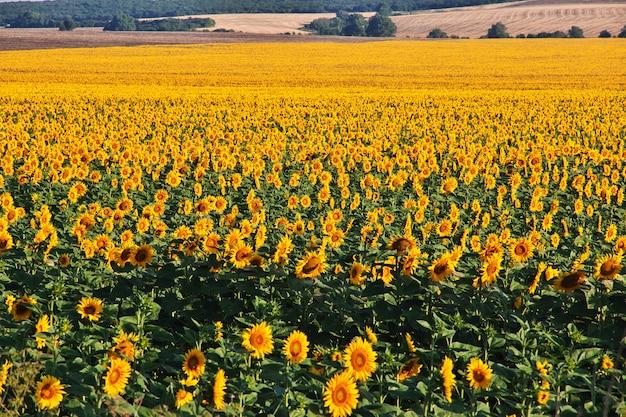 Het veld met zonnebloemen,