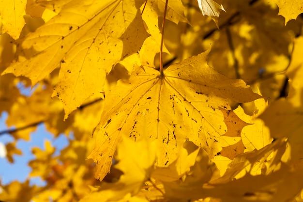 Het veranderen van de kleur van de esdoorn in het herfstseizoen, het gebladerte van de esdoorn is beschadigd en zal vallen, loofbomen inclusief esdoorn voordat het blad valt, close-up