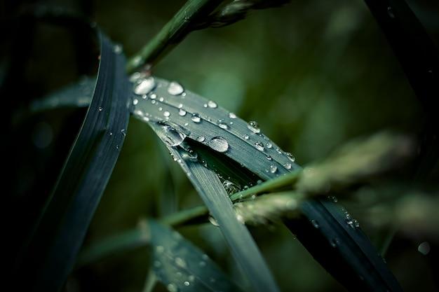 Het verse groene gras met dauw daalt dicht omhoog. water driops op het verse gras na regen. lichte ochtenddauw op het gras