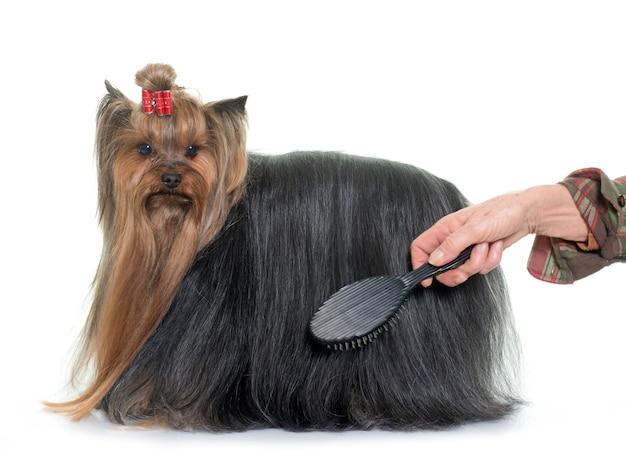Het verzorgen van yorkshire terrier