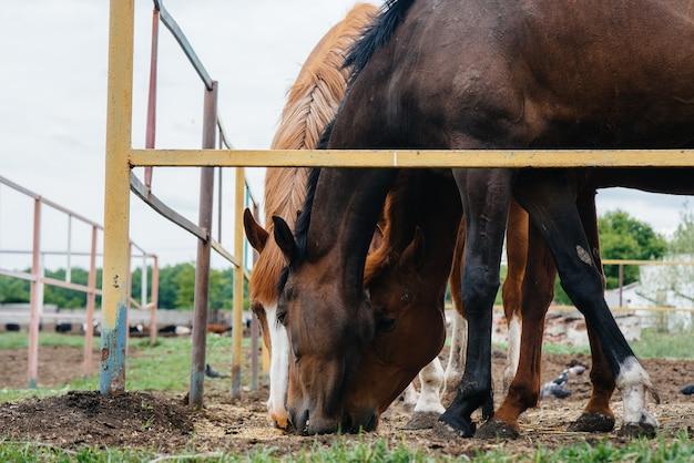Het voeren van mooie en gezonde paarden op de ranch. veehouderij en paardenfokkerij.