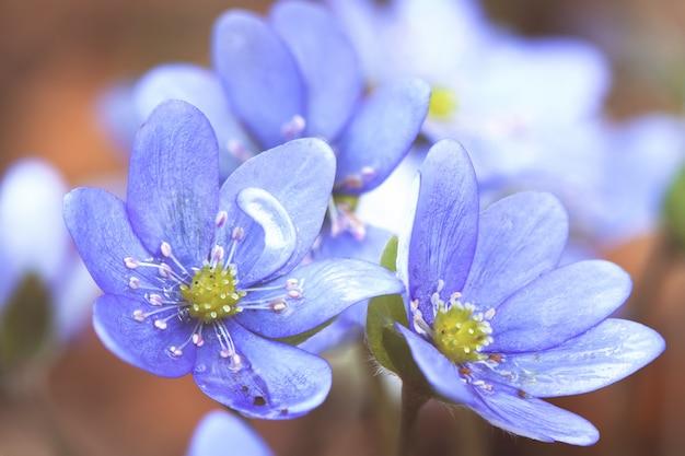 Het vroege voorjaar bloeit hepatica