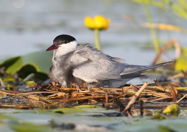 Het vrouwtje van de witte sterns verwarmt de kuikens onder de vleugels.