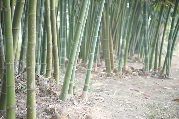Het weelderige bamboe van taiwan in tuin bospark
