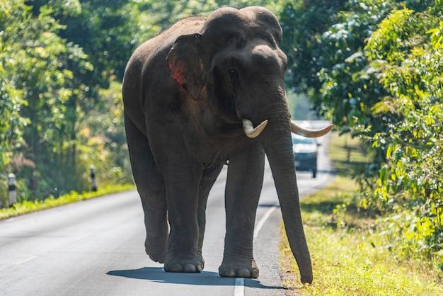 Het wild, aziatische olifant die op de weg bij het nationale park van khao yai, thailand lopen