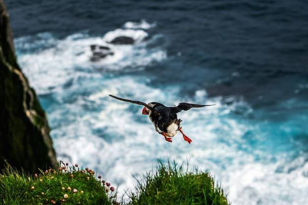 Het wilde atlantische papegaaiduikerzeevogel vliegen