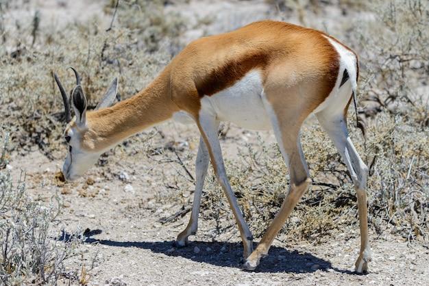 Het wilde portret van de springbokantilope in afrikaanse savanne dichte omhooggaand