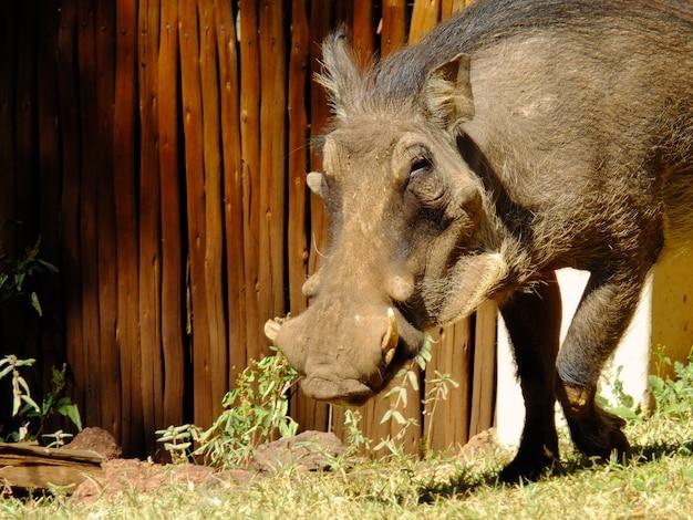 Het wrattenzwijn in de loge, botswana, afrika