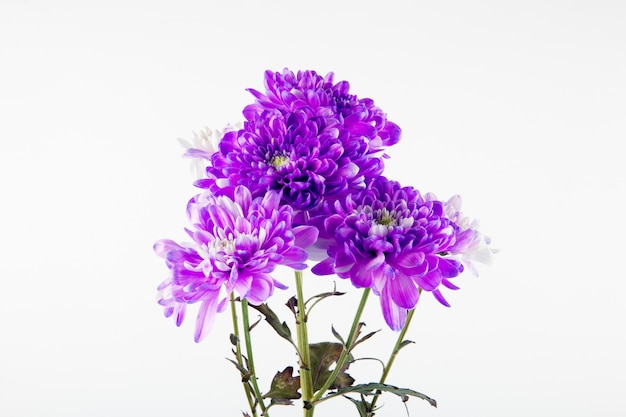 Het zijaanzicht van violet en wit kleurenchrysant bloeit boeket dat op witte achtergrond wordt geïsoleerd