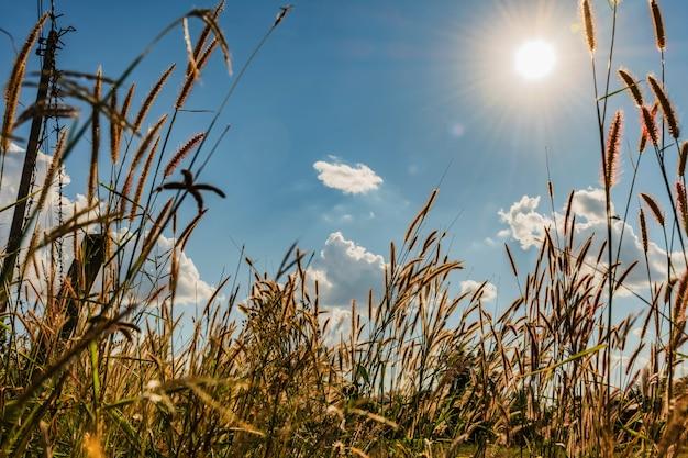 Het zonlicht blauwe hemel van de grasbloem