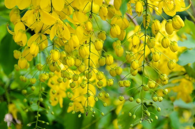 Het zuiveren van cassia of ratchaphruek-bloemen (cassis-fistel) nationale bloem van thailand met felgele schoonheid
