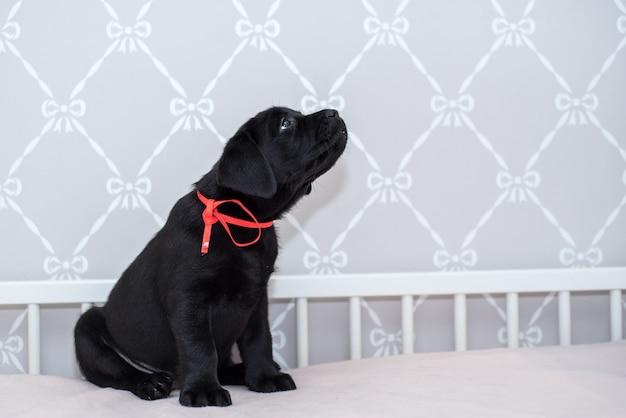 Het zwarte het puppy van labrador spelen op het bed.