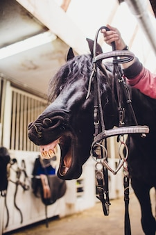 Het zwarte paard gaapt en ziet eruit alsof hij lacht.